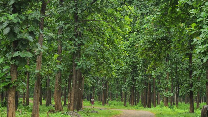 Una piantagione di teak